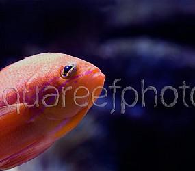 Pseudanthias bimaculatus 01