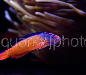 Pseudochromis aldabraensis 02