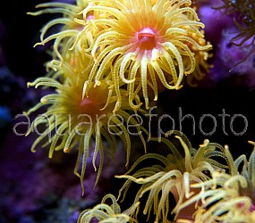 Dendrophyllia cornigera 01