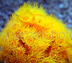 Dendrophyllia cornigera 02