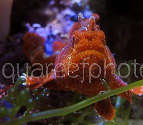 Antennarius pictus 16