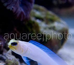 Opistognathus aurifrons 05