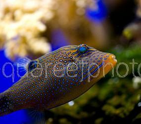 Canthigaster solandri 04