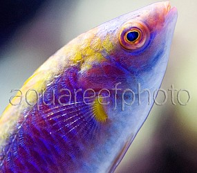 Cirrhilabrus aurantidorsalis 03
