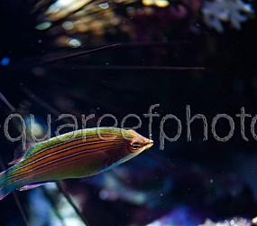 Pseudocheilinus tetrataenia 01