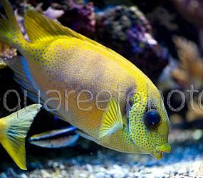 Siganus corallinus 01