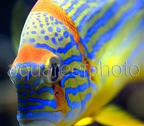 Symphorichthys spilurus 04