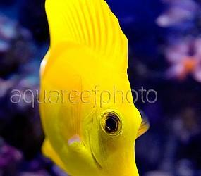 Zebrasoma flavescens 06