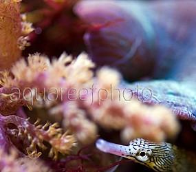 Corythoichthys intestinalis 02