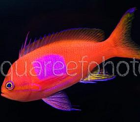 Pseudanthias pleurotaenia 02