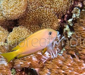 Ctenochaetus cyanocheilus 01