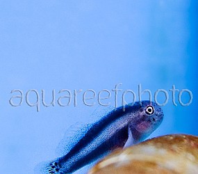 Gobiodon albofasciatus 01