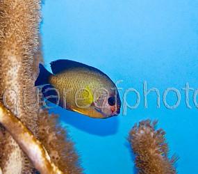 Centropyge bispinosus variation 01