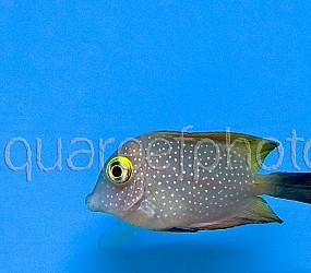 Ctenochaetus truncatus 01