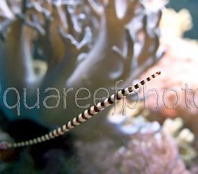 Doryrhamphus dactyliophorus 03