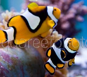 Amphiprion percula PNG 01