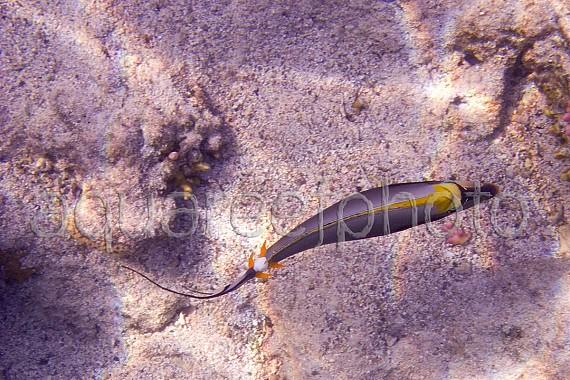 Naso elegans 02