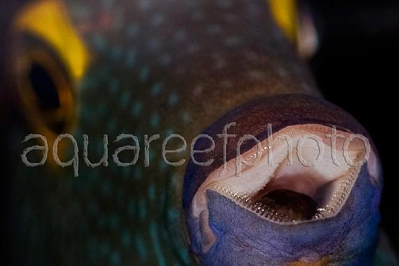 Ctenochaetus strigosus 02