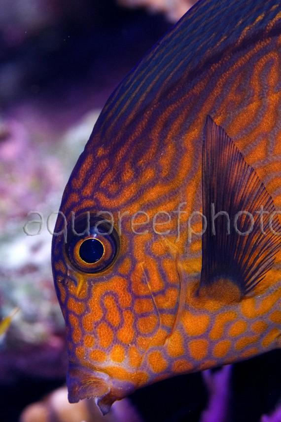 Ctenochaetus hawaiiensis 01