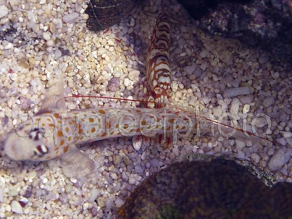 Alpheus Bellulus & A. guttata