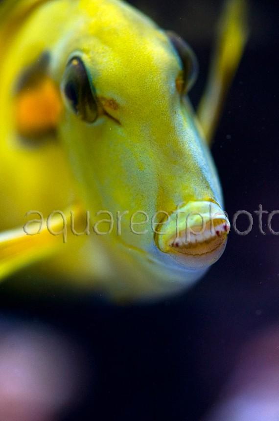 Acanthurus olivaceus 01