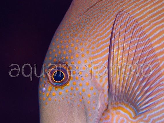 Acanthurus maculiceps 01