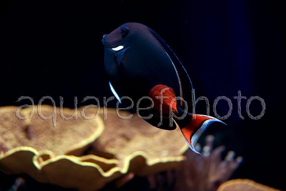 Acanthurus achiles 02