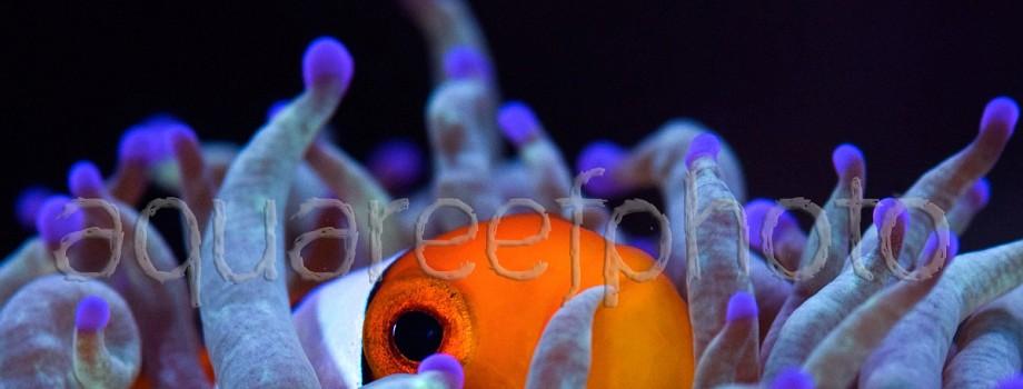Amphiprion ocellaris 03
