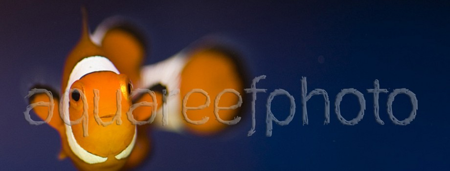 Amphiprion ocellaris 01
